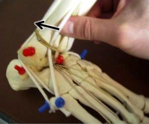 cheville douloureuse instable :osteopathie loge antéro-latérale