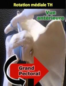 grand pectoral épaule