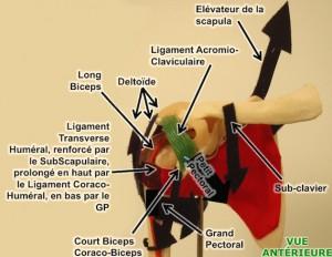anatomie épaule coiffe
